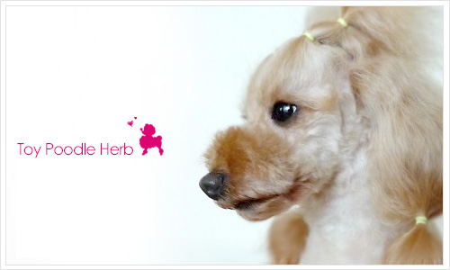 Welcome to Toy Poodle Herb blog.